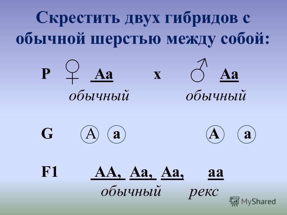 Скрестить двух гибридов с обычной шерстью между собой: Р Аа х Аа обычный обычный G А а А а F1 АА, Аа, Аа, аа обычный рекс