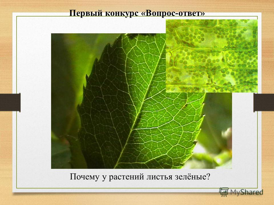 Первый конкурс «Вопрос-ответ» Почему у растений листья зелёные?