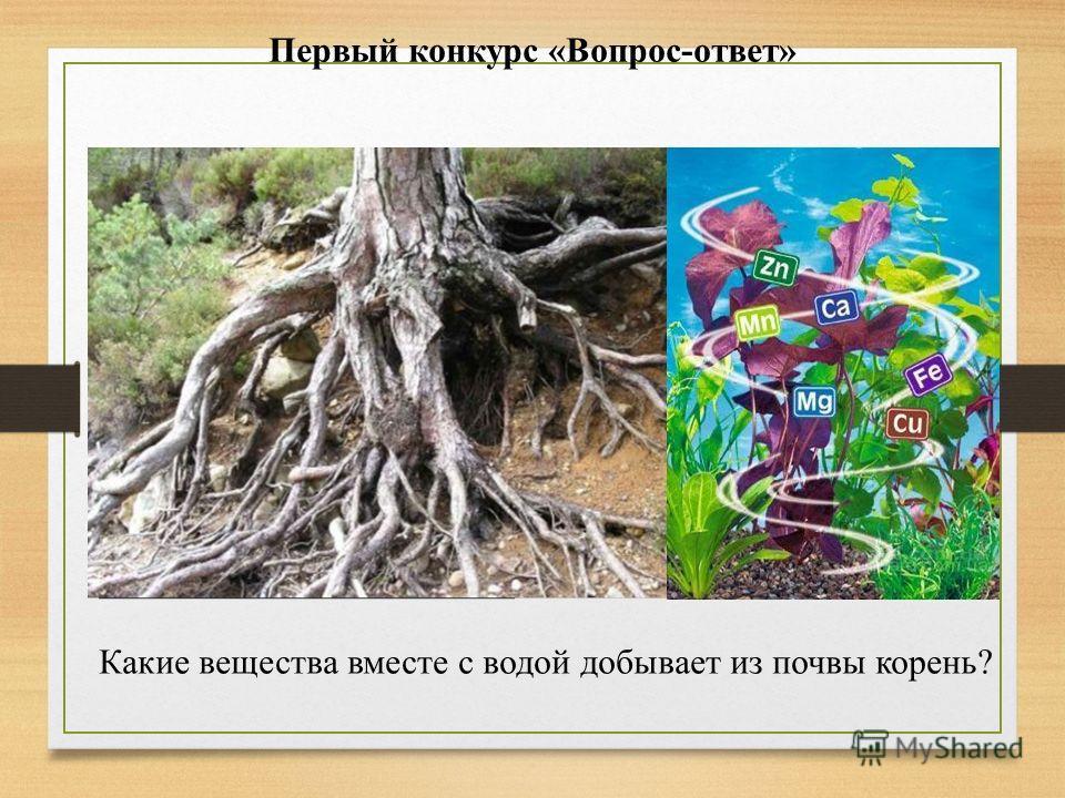 Первый конкурс «Вопрос-ответ» Какие вещества вместе с водой добывает из почвы корень?
