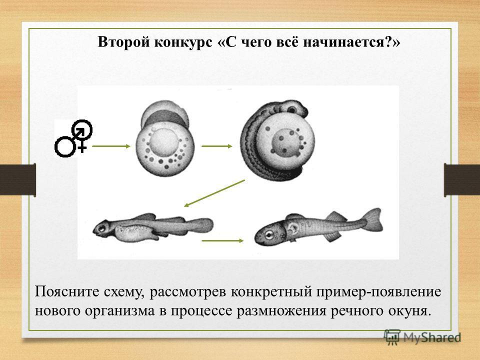 Второй конкурс «С чего всё начинается?» Поясните схему, рассмотрев конкретный пример-появление нового организма в процессе размножения речного окуня.
