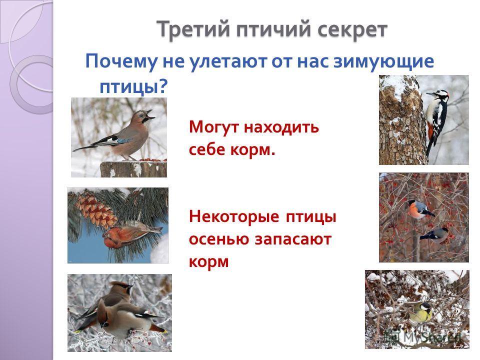 Третий птичий секрет Почему не улетают от нас зимующие птицы ? Могут находить себе корм. Некоторые птицы осенью запасают корм