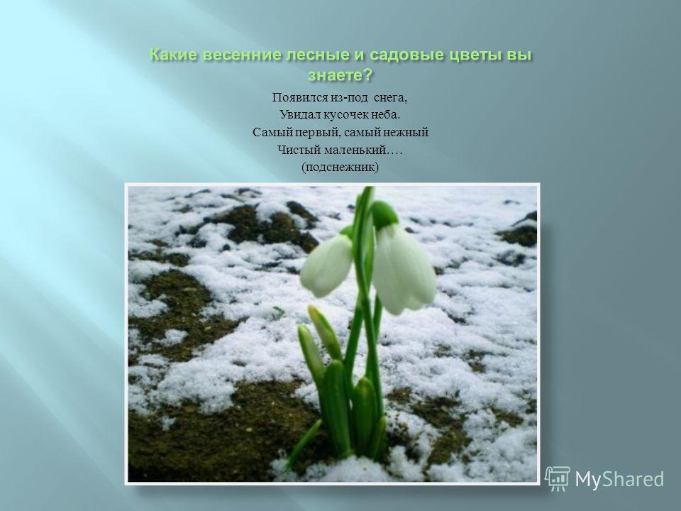 Появился из - под снега, Увидал кусочек неба. Самый первый, самый нежный Чистый маленький …. ( подснежник )