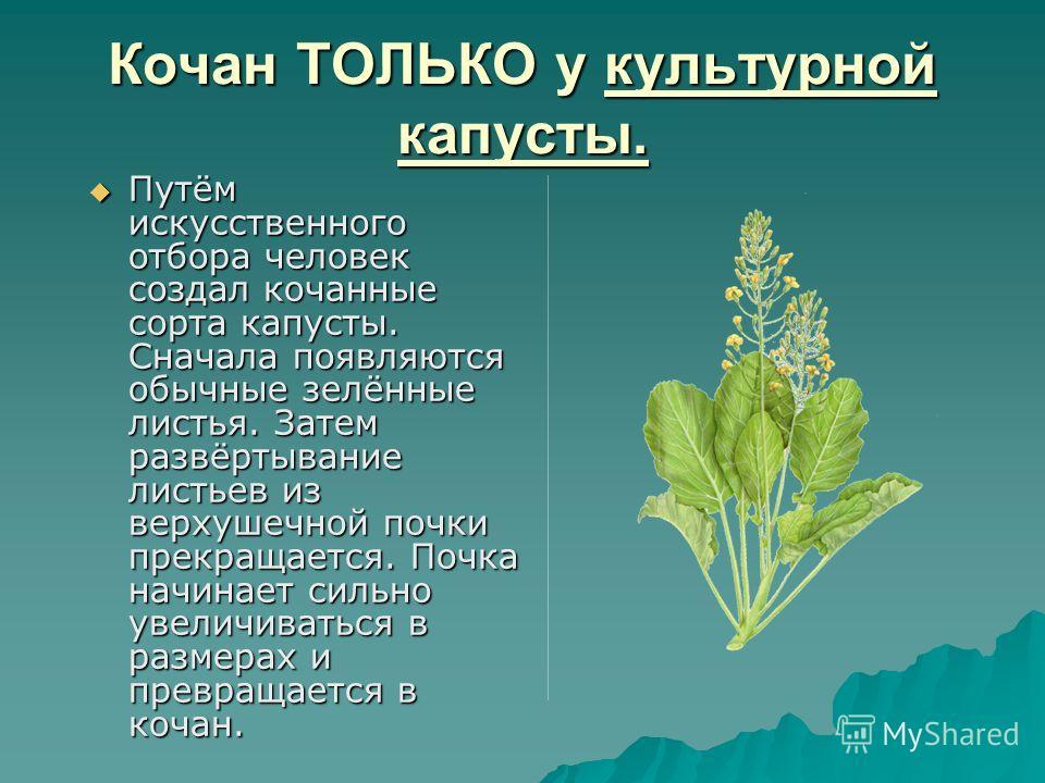 Кочан ТОЛЬКО у культурной капусты. Путём искусственного отбора человек создал кочанные сорта капусты. Сначала появляются обычные зелённые листья. Затем развёртывание листьев из верхушечной почки прекращается. Почка начинает сильно увеличиваться в раз