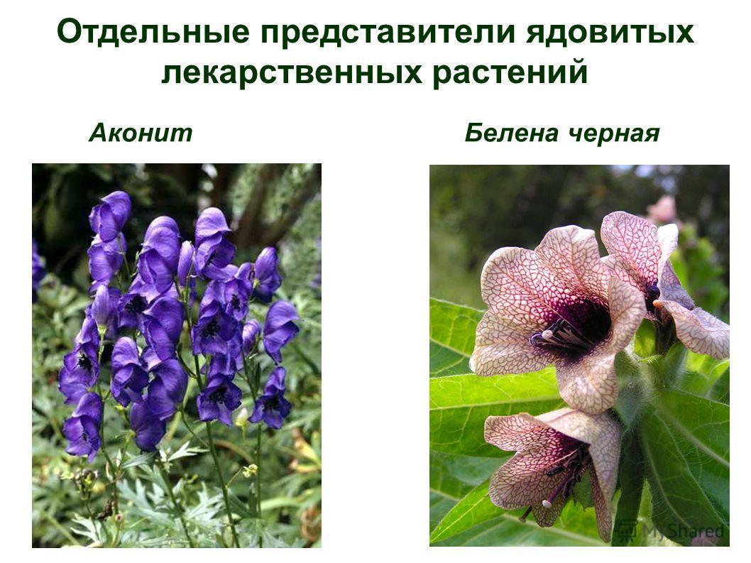 Отдельные представители ядовитых лекарственных растений Аконит Белена черная