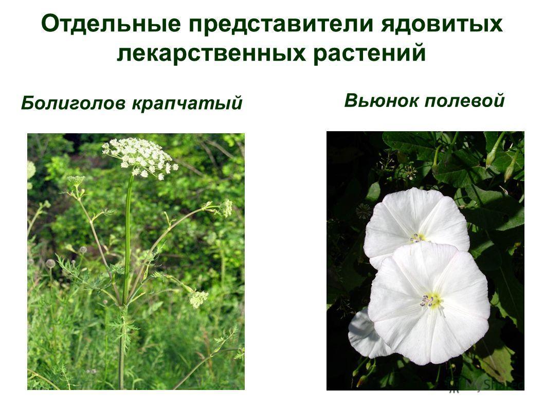 Отдельные представители ядовитых лекарственных растений Болиголов крапчатый Вьюнок полевой