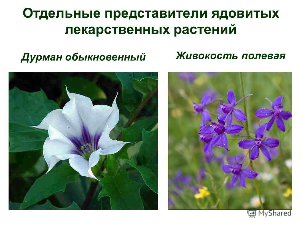 Отдельные представители ядовитых лекарственных растений Дурман обыкновенный Живокость полевая