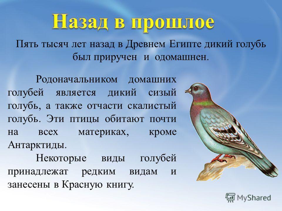 Родоначальником домашних голубей является дикий сизый голубь, а также отчасти скалистый голубь. Эти птицы обитают почти на всех материках, кроме Антарктиды. Некоторые виды голубей принадлежат редким видам и занесены в Красную книгу. Пять тысяч лет на