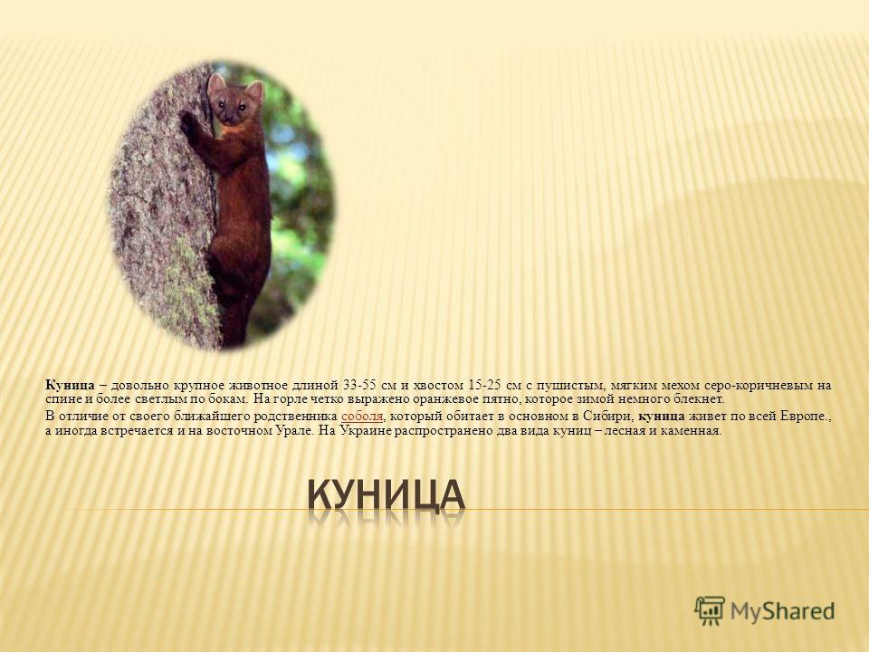 Куница – довольно крупное животное длиной 33-55 см и хвостом 15-25 см с пушистым, мягким мехом серо-коричневым на спине и более светлым по бокам. На горле четко выражено оранжевое пятно, которое зимой немного блекнет. В отличие от своего ближайшего р