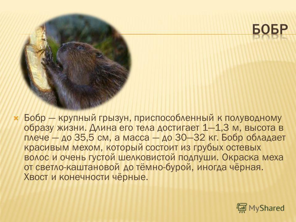 Бобр крупный грызун, приспособленный к полуводному образу жизни. Длина его тела достигает 11,3 м, высота в плече до 35,5 см, а масса до 3032 кг. Бобр обладает красивым мехом, который состоит из грубых остевых волос и очень густой шелковистой подпуши.