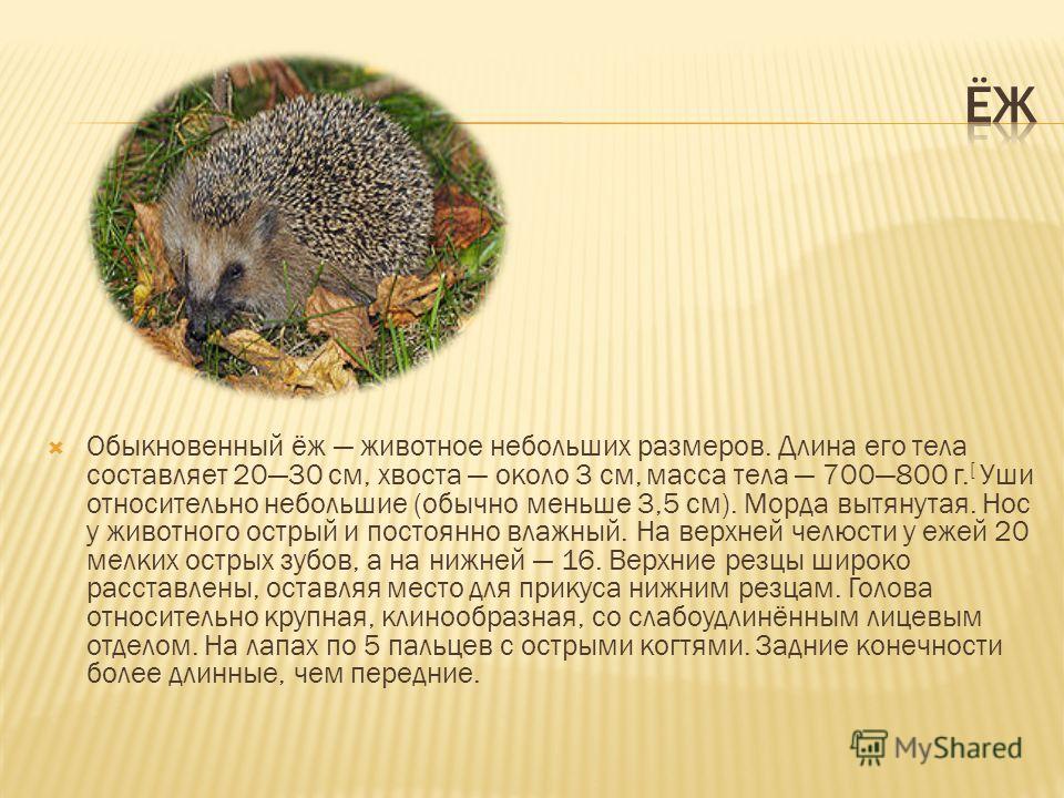 Обыкновенный ёж животное небольших размеров. Длина его тела составляет 2030 см, хвоста около 3 см, масса тела 700800 г. [ Уши относительно небольшие (обычно меньше 3,5 см). Морда вытянутая. Нос у животного острый и постоянно влажный. На верхней челюс