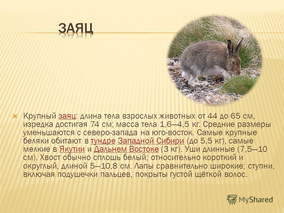 Крупный заяц: длина тела взрослых животных от 44 до 65 см, изредка достигая 74 см; масса тела 1,64,5 кг. Средние размеры уменьшаются с северо-запада на юго-восток. Самые крупные беляки обитают в тундре Западной Сибири (до 5,5 кг), самые мелкие в Якут