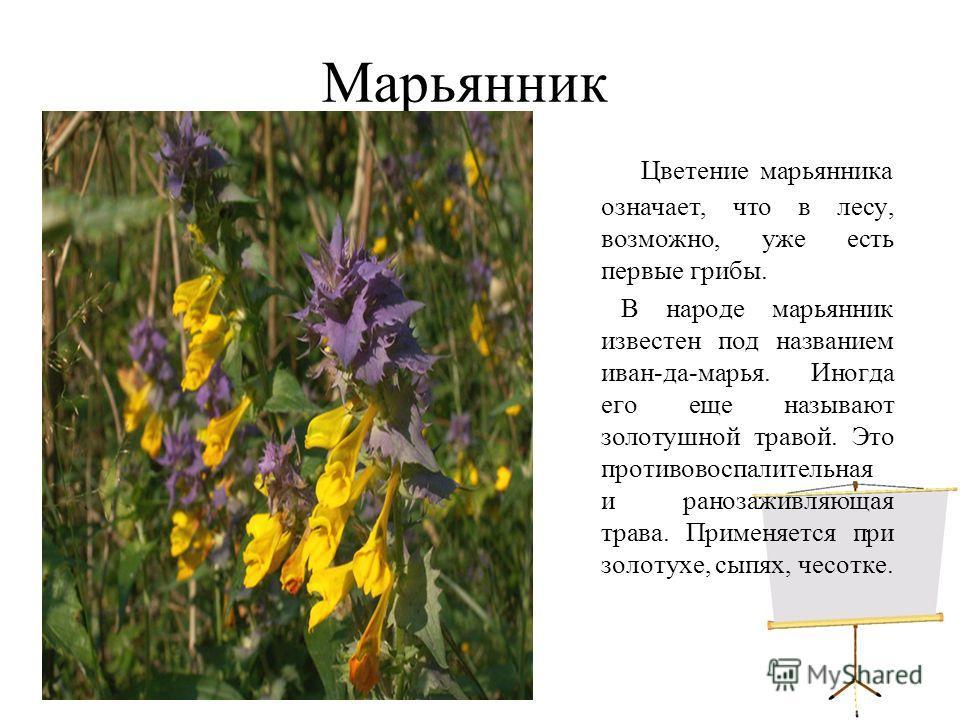 Марьянник Цветение марьянника означает, что в лесу, возможно, уже есть первые грибы. В народе марьянник известен под названием иван-да-марья. Иногда его еще называют золотушной травой. Это противовоспалительная и ранозаживляющая трава. Применяется пр
