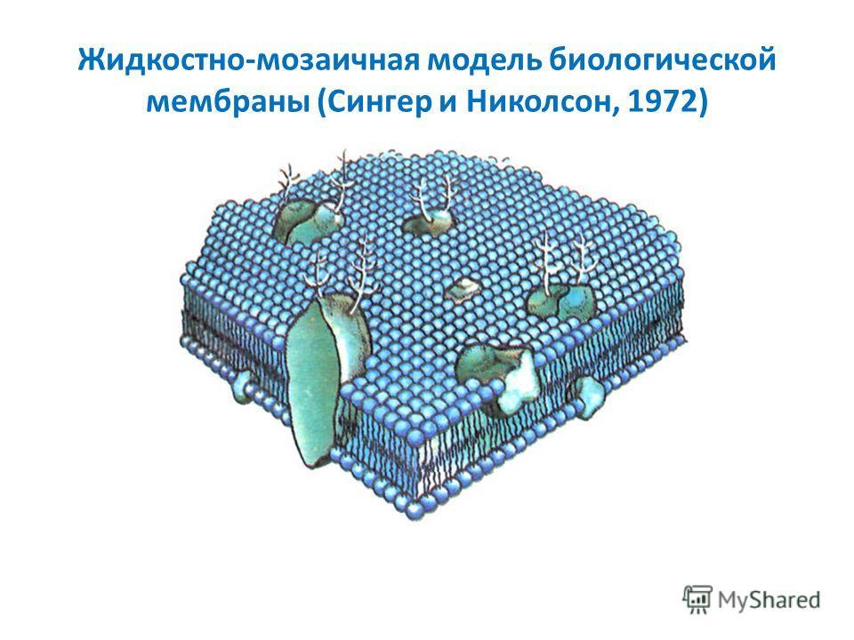 Жидкостно-мозаичная модель биологической мембраны (Сингер и Николсон, 1972)