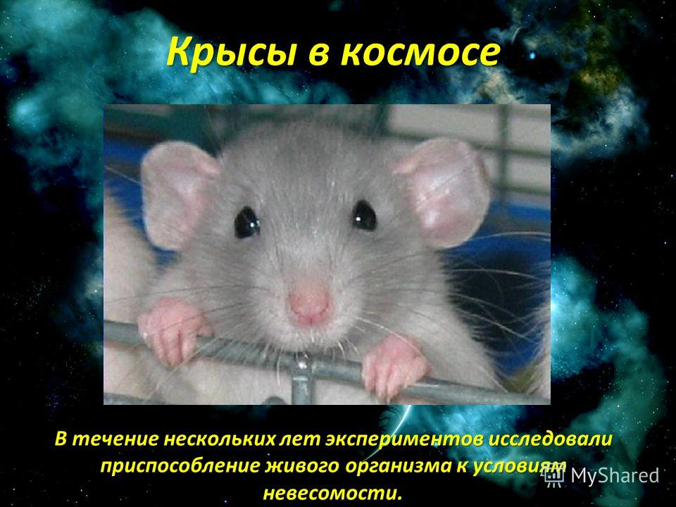 В течение нескольких лет экспериментов исследовали приспособление живого организма к условиям невесомости. Крысы в космосе