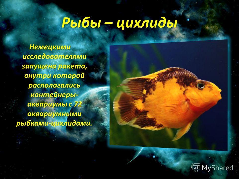 Рыбы – цихлиды Немецкими исследователями запущена ракета, внутри которой располагались контейнеры- аквариумы с 72 аквариумными рыбками-цихлидами.