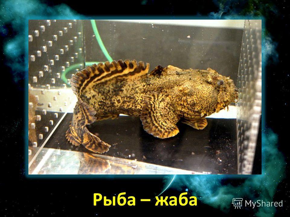 Рыба – жаба