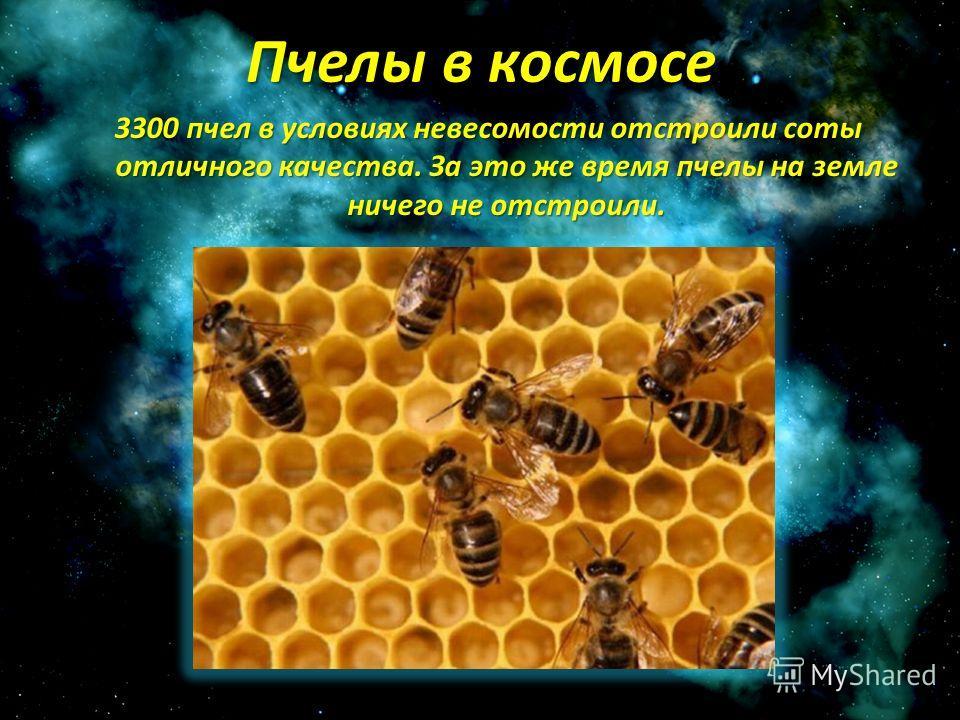 Пчелы в космосе 3300 пчел в условиях невесомости отстроили соты отличного качества. За это же время пчелы на земле ничего не отстроили.