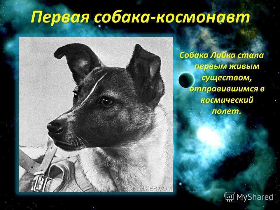 Первая собака-космонавт Собака Лайка стала первым живым существом, отправившимся в космический полет.
