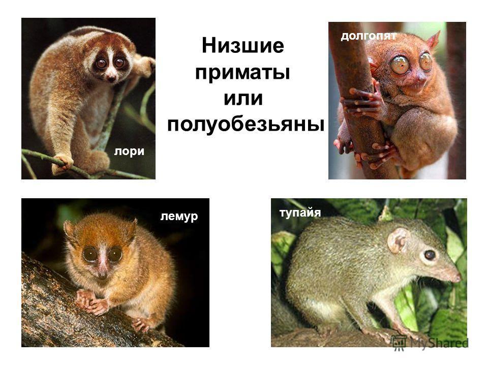 долгопят тупайя лемур лори Низшие приматы или полуобезьяны