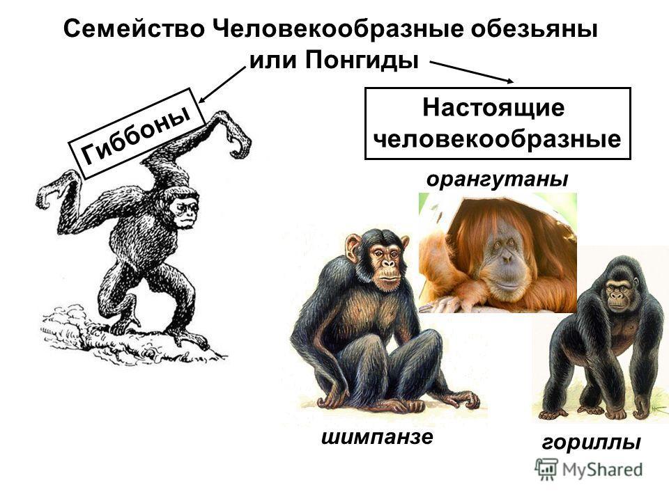 Семейство Человекообразные обезьяны или Понгиды Гиббоны орангутаны гориллы шимпанзе Настоящие человекообразные