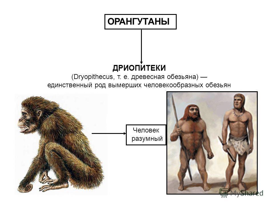 ДРИОПИТЕКИ (Dryopithecus, т. е. древесная обезьяна) единственный род вымерших человекообразных обезьян ОРАНГУТАНЫ Человек разумный