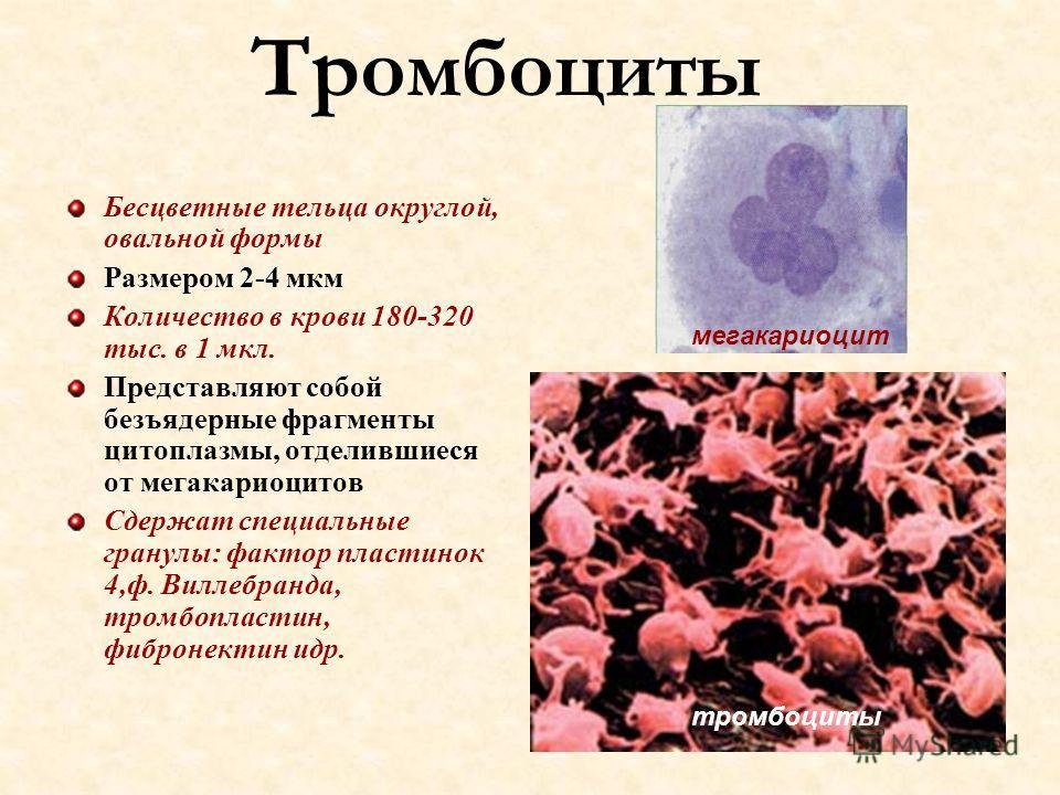 Тромбоциты Бесцветные тельца округлой, овальной формы Размером 2-4 мкм Количество в крови 180-320 тыс. в 1 мкл. Представляют собой безъядерные фрагменты цитоплазмы, отделившиеся от мегакариоцитов Сдержат специальные гранулы: фактор пластинок 4,ф. Вил