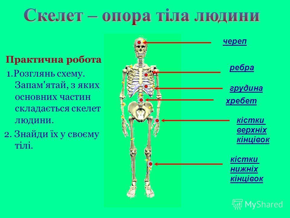 череп ребра грудина кістки верхніх кінцівок хребет кістки нижніх кінцівок Практична робота 1.Розглянь схему. Запам'ятай, з яких основних частин складається скелет людини. 2. Знайди їх у своєму тілі.