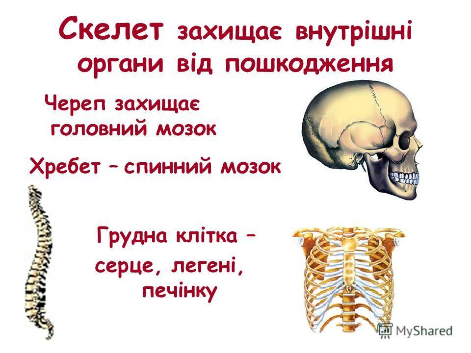 Скелет захищає внутрішні органи від пошкодження Череп захищає головний мозок Хребет – спинний мозок Грудна клітка – серце, легені, печінку