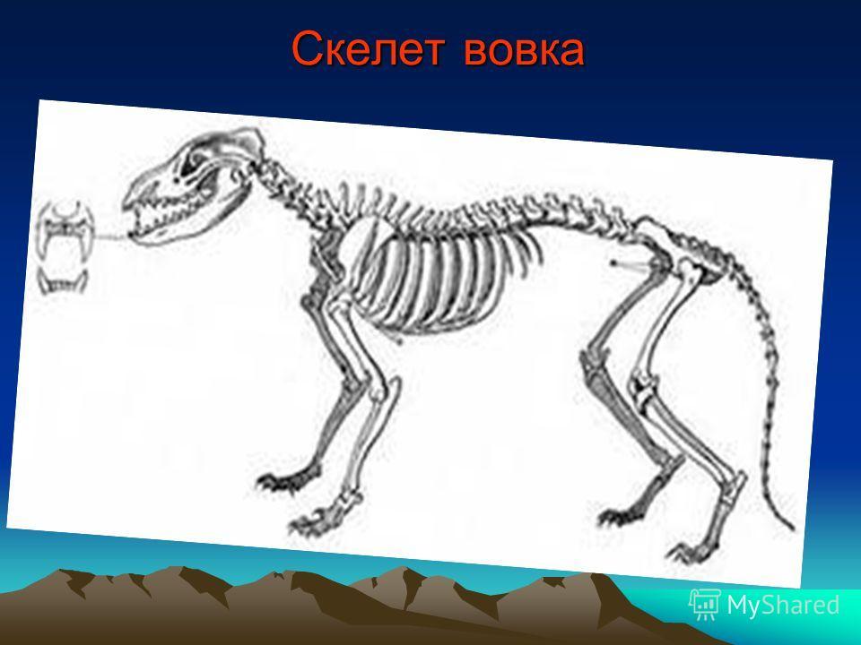 Скелет вовка