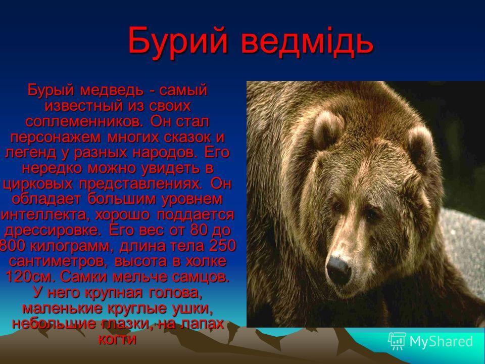 Бурий ведмідь Бурый медведь - самый известный из своих соплеменников. Он стал персонажем многих сказок и легенд у разных народов. Его нередко можно увидеть в цирковых представлениях. Он обладает большим уровнем интеллекта, хорошо поддается дрессировк