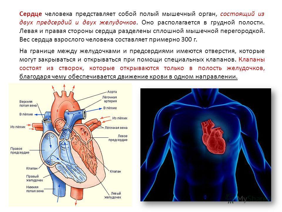 Сердце человека представляет собой полый мышечный орган, состоящий из двух предсердий и двух желудочков. Оно располагается в грудной полости. Левая и правая стороны сердца разделены сплошной мышечной перегородкой. Вес сердца взрослого человека состав
