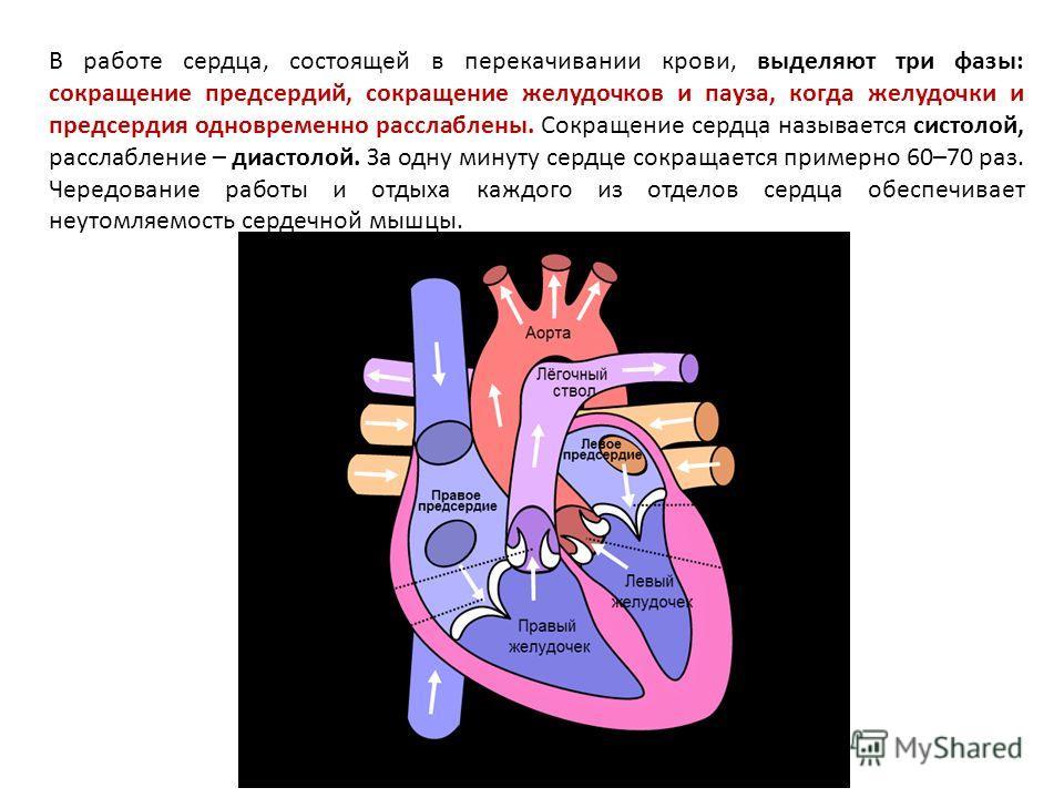 В работе сердца, состоящей в перекачивании крови, выделяют три фазы: сокращение предсердий, сокращение желудочков и пауза, когда желудочки и предсердия одновременно расслаблены. Сокращение сердца называется систолой, расслабление – диастолой. За одну