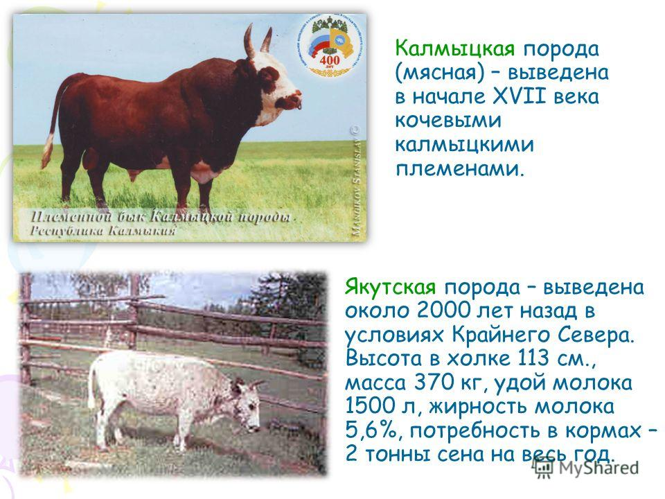 Калмыцкая порода (мясная) – выведена в начале XVII века кочевыми калмыцкими племенами. Якутская порода – выведена около 2000 лет назад в условиях Крайнего Севера. Высота в холке 113 см., масса 370 кг, удой молока 1500 л, жирность молока 5,6%, потребн