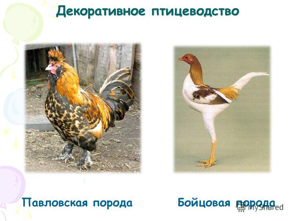 Декоративное птицеводство Павловская порода Бойцовая порода