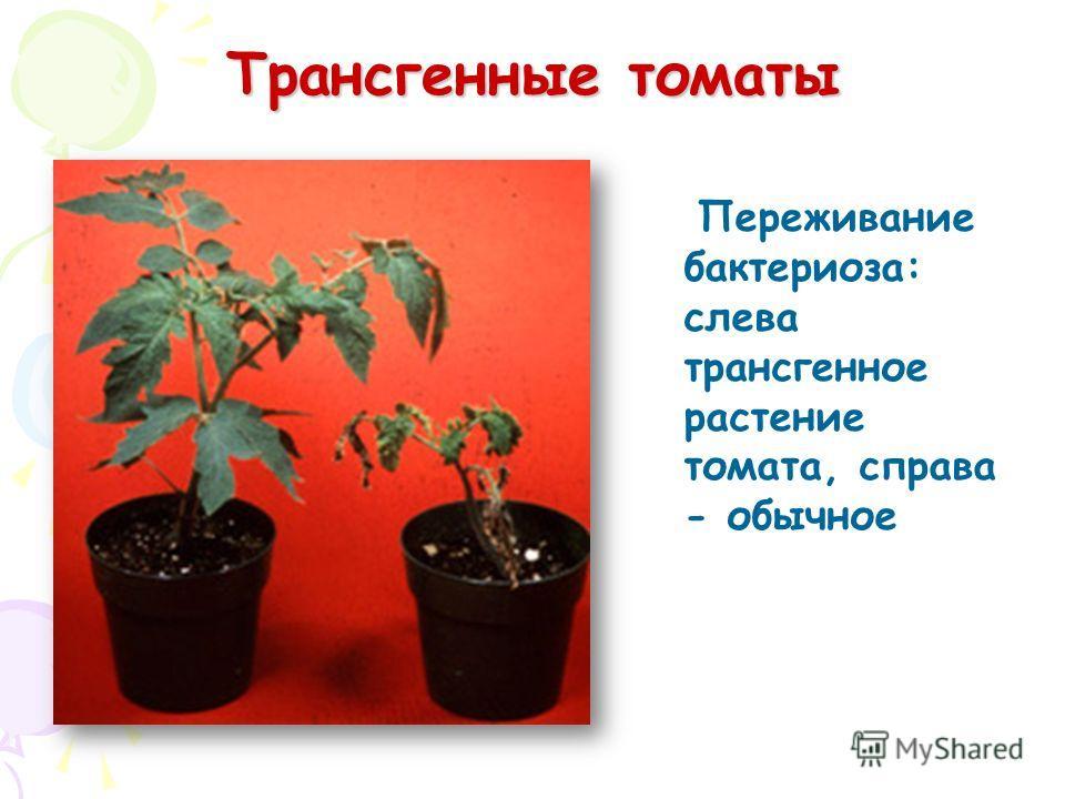 Трансгенные томаты Переживание бактериоза: слева трансгенное растение томата, справа - обычное
