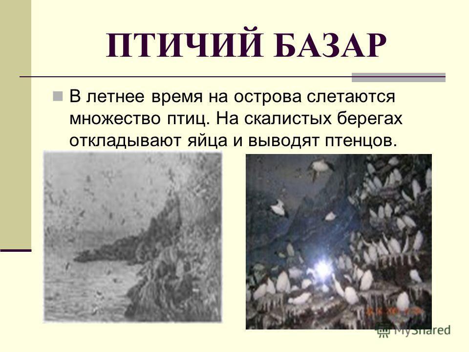 ПТИЧИЙ БАЗАР В летнее время на острова слетаются множество птиц. На скалистых берегах откладывают яйца и выводят птенцов.