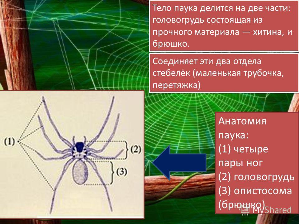 Тело паука делится на две части: головогрудь состоящая из прочного материала хитина, и брюшко. Соединяет эти два отдела стебелёк (маленькая трубочка, перетяжка) Анатомия паука: (1) четыре пары ног (2) головогрудь (3) опистосома (брюшко)