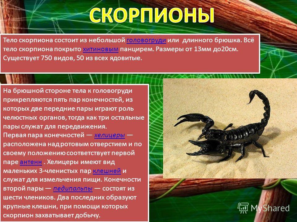 Тело скорпиона состоит из небольшой головогруди или длинного брюшка. Всё тело скорпиона покрыто хитиновым панцирем. Размеры от 13мм до20см. Существует 750 видов, 50 из всех ядовитые.головогрудихитиновым Тело скорпиона состоит из небольшой головогруди