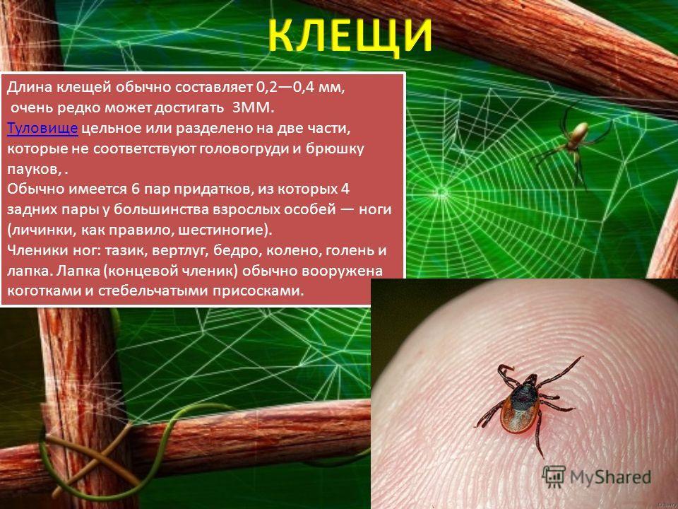 Длина клещей обычно составляет 0,20,4 мм, очень редко может достигать 3ММ. ТуловищеТуловище цельное или разделено на две части, которые не соответствуют головогруди и брюшку пауков,. Обычно имеется 6 пар придатков, из которых 4 задних пары у большинс
