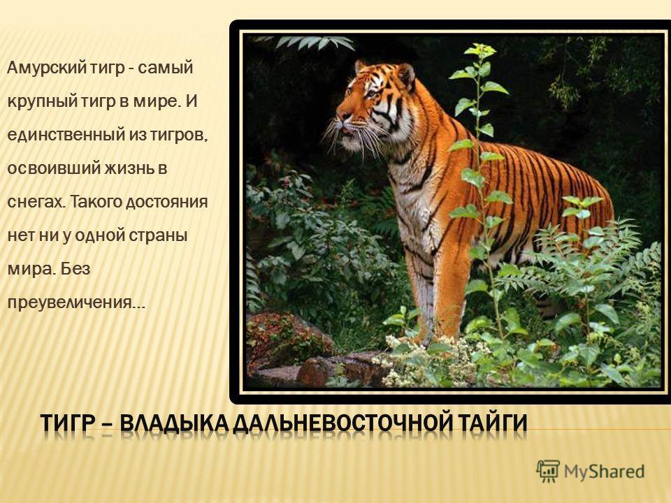 Амурский тигр - самый крупный тигр в мире. И единственный из тигров, освоивший жизнь в снегах. Такого достояния нет ни у одной страны мира. Без преувеличения…