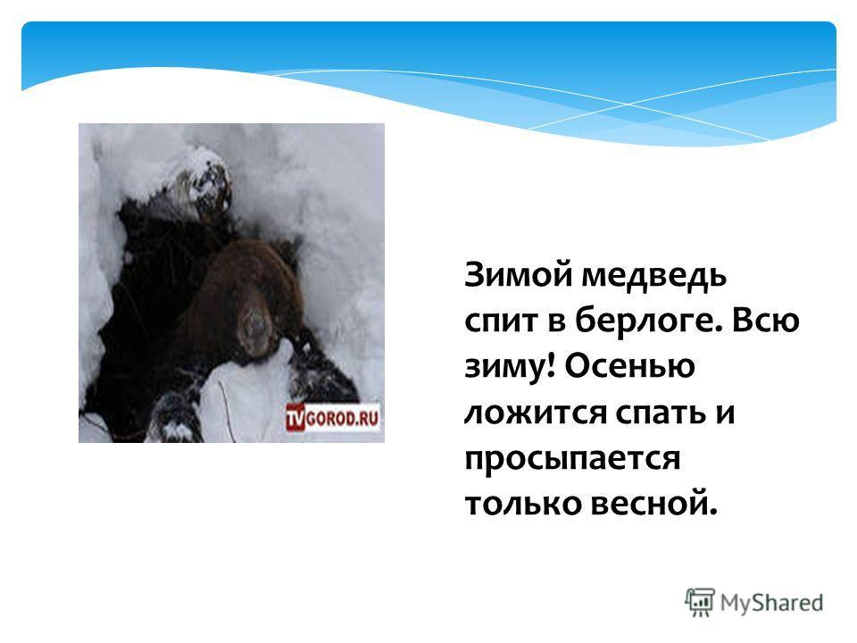 Зимой медведь спит в берлоге. Всю зиму! Осенью ложится спать и просыпается только весной.