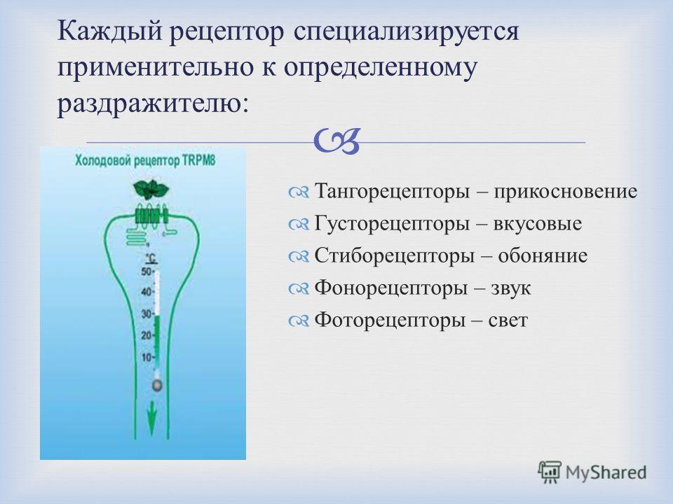 Тангорецепторы – прикосновение Густорецепторы – вкусовые Стиборецепторы – обоняние Фонорецепторы – звук Фоторецепторы – свет Каждый рецептор специализируется применительно к определенному раздражителю :