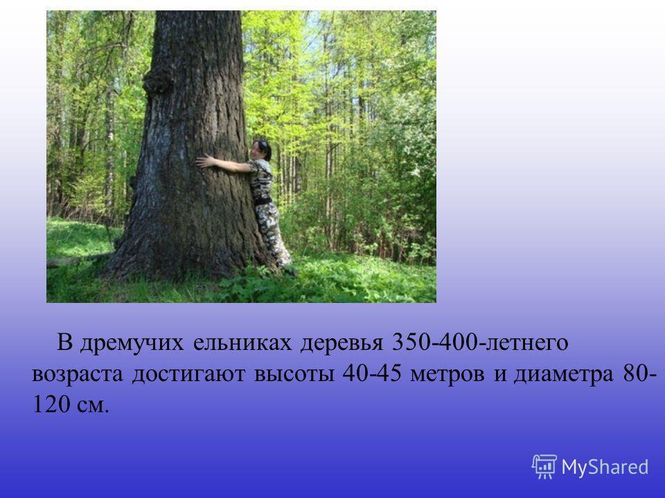 В дремучих ельниках деревья 350-400-летнего возраста достигают высоты 40-45 метров и диаметра 80- 120 см.