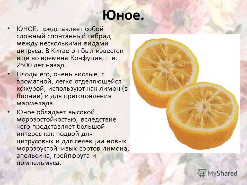 Юное. ЮНОЕ, представляет собой сложный спонтанный гибрид между несколькими видами цитруса. В Китае он был известен еще во времена Конфуция, т. е. 2500 лет назад. Плоды его, очень кислые, с ароматной, легко отделяющейся кожурой, используют как лимон (