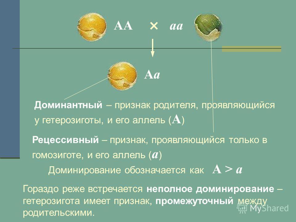 × ААаа АаАа Доминантный – признак родителя, проявляющийся у гетерозиготы, и его аллель ( А ) Рецессивный – признак, проявляющийся только в гомозиготе, и его аллель ( а ) Доминирование обозначается как А > а Гораздо реже встречается неполное доминиров