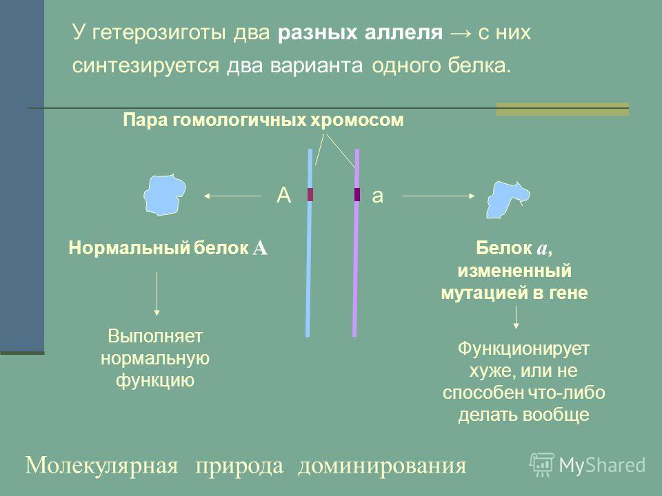 У гетерозиготы два разных аллеля с них синтезируется два варианта одного белка. Нормальный белок А Белок а, измененный мутацией в гене Аа Пара гомологичных хромосом Выполняет нормальную функцию Функционирует хуже, или не способен что-либо делать вооб