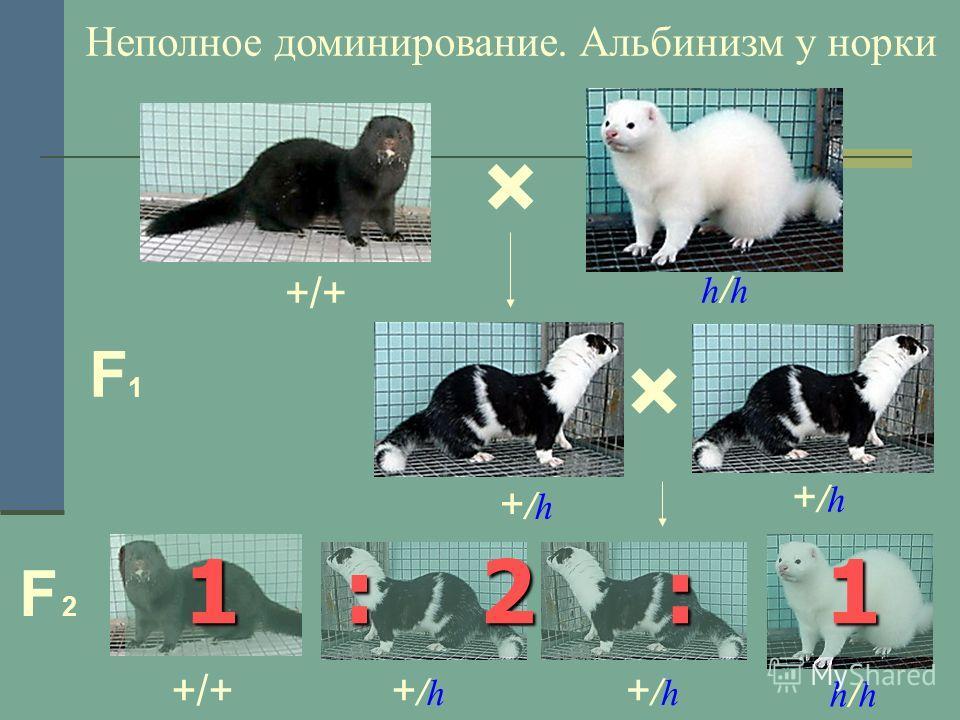 × h/hh/h +/h+/h +/h+/h F1F1 F 2F 2 +/++/h+/h +/h+/h h/hh/h 1 : 2 : 1 Неполное доминирование. Альбинизм у норки ×