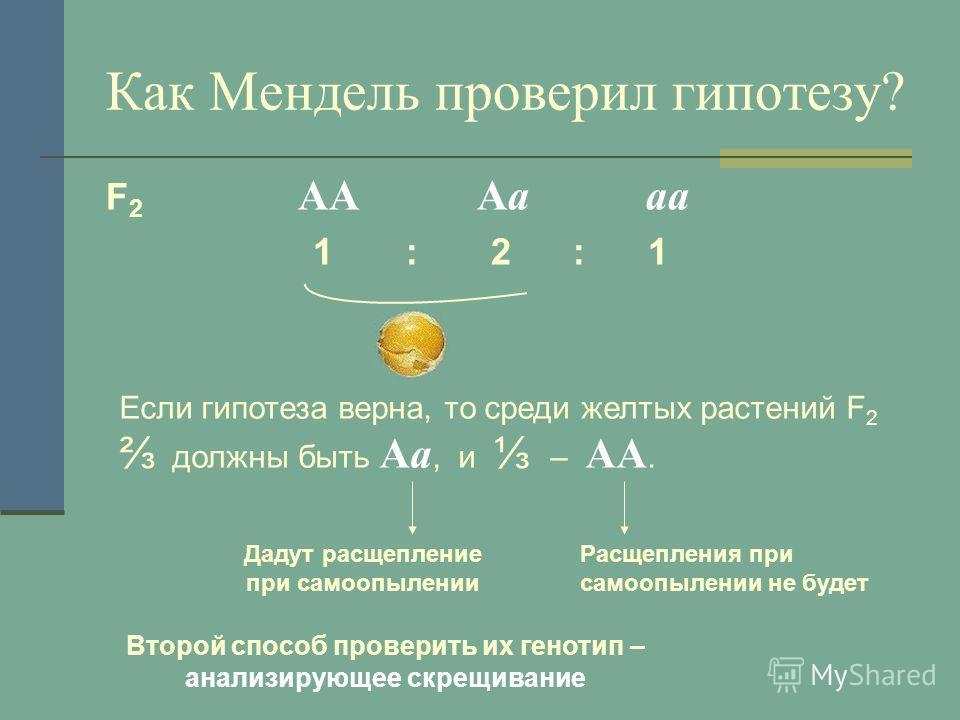 Как Мендель проверил гипотезу? F 2 AA Aa aa 1 : 2 : 1 Если гипотеза верна, то среди желтых растений F 2 должны быть Aa, и – AA. Дадут расщепление при самоопылении Расщепления при самоопылении не будет Второй способ проверить их генотип – анализирующе