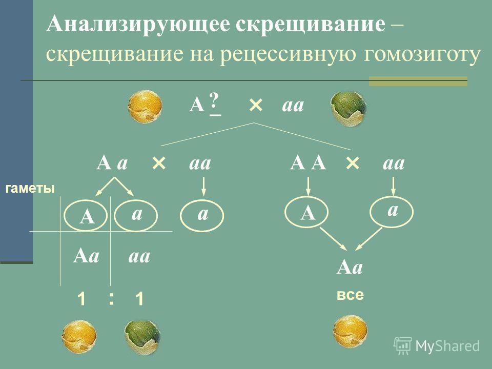Анализирующее скрещивание – скрещивание на рецессивную гомозиготу × А _аа ? × А ааа × А аа а А а а А гаметы а АаАааа 1 : 1 АаАа все