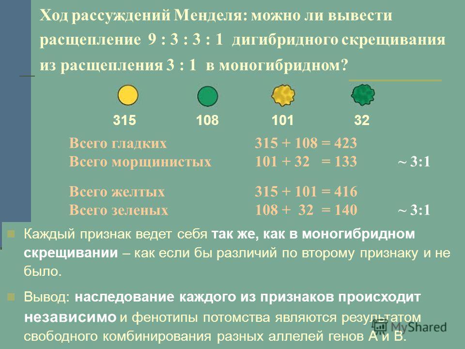 Ход рассуждений Менделя: можно ли вывести расщепление 9 : 3 : 3 : 1 дигибридного скрещивания из расщепления 3 : 1 в моногибридном? Всего гладких315 + 108 = 423 Всего морщинистых101 + 32 = 133 ~ 3:1 Всего желтых315 + 101 = 416 Всего зеленых108 + 32 =